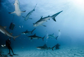 Picture shows Caribbean Reef Sharks at the Bahamas