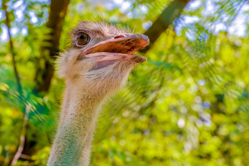 The ostrich or common ostrich (Struthio camelus) is either of two species of large flightless birds native to Africa.