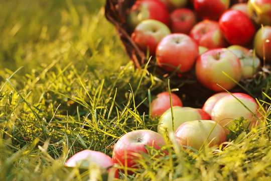 Blurred fresh apples in basket and on grass. August, autumn harvesting concept. Farming, orchard, apple picking, fall season
