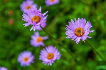 purple little