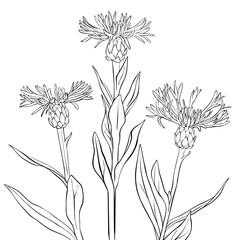 vector drawing cornflowers