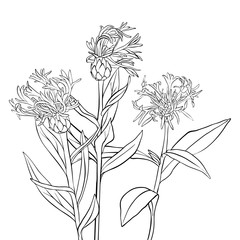 vector drawing cornflowers
