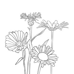 vector drawing cornflowers and chamomiles