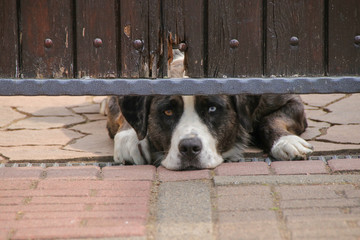 Australian Shepherd, I'm watching you, Lazy, Hot Summer