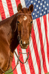 American Quarter Horse in Field