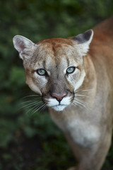 Poster Puma Portrait of Beautiful Puma. Cougar, mountain lion, puma, panther, striking pose, scene in the woods, wildlife America