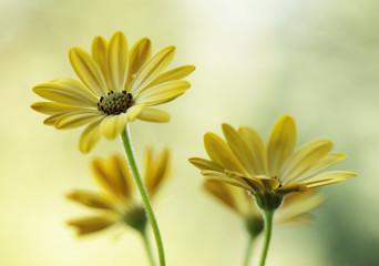 Leinwandbilder - Żółte kwiaty