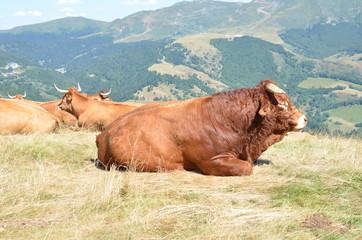 Taureau de race Salers dans les volcans d'Auvergne, France