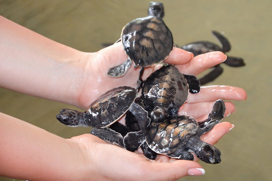 Female hands hold small turtles. Caring for newborn turtle in the Sea Turtles Conservation Research Project in Bentota, Sri Lanka. saving animals