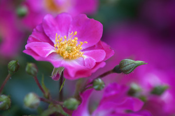 Obraz Dzika róża 2 - fototapety do salonu