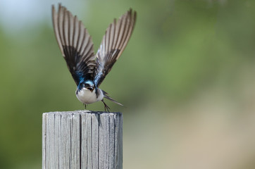 Tree Swallow Taking to Flight from atop a Weathered Wooden Fence Post