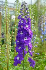 Purple delphinium flowers in greenhouse