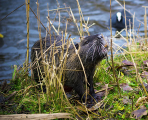 Close-up of a nutria on the shore of a small pond.
