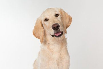 Happy yellow lab puppy on white background