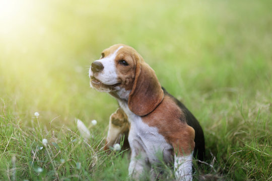 Beagle dog scratching body.