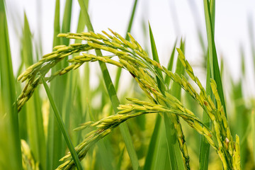 young ear of rice in agriculture farm