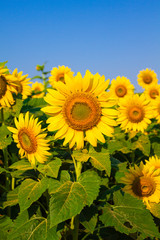Field of sunflowers with blue sky on sunny day