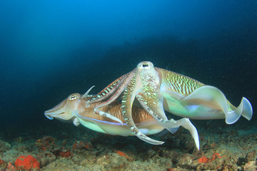 Pair Pharaoh Cuttlefish (Sepia)