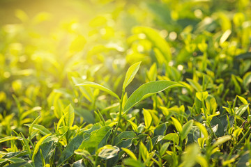 Close up of green tea leaves in a tea plantation in morning with dramatic sunlight.