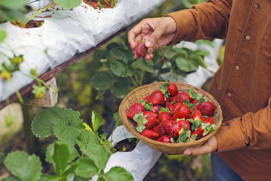 A worker picking a fresh strawberry at farm