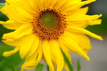 sunflower on a sunny day