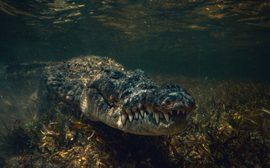 Crocodile underwater