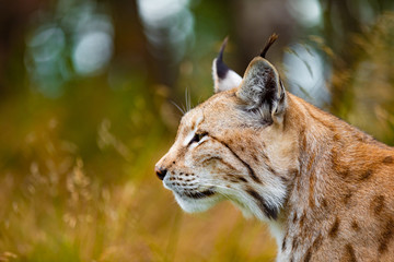 Close-up of focused eurasian lynx hunting in forest at summer