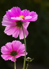 Violin blossoms of a Mexican aster - Cosmos bipinnatus