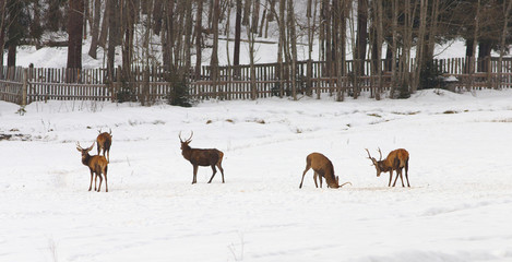 Group of deers on the meadow at a winter time