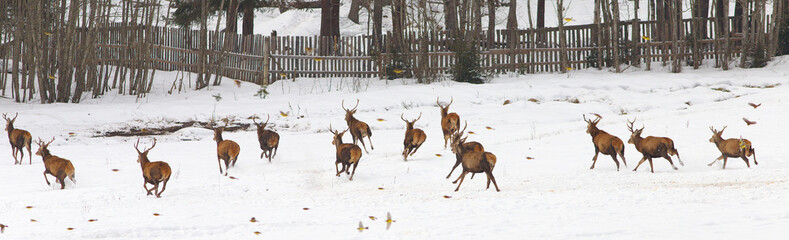 Group of running deers on the meadow at a winter time