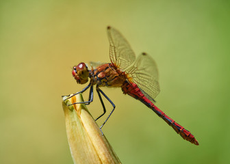 A single red Vagrant Darter dragonfly resting in the sun