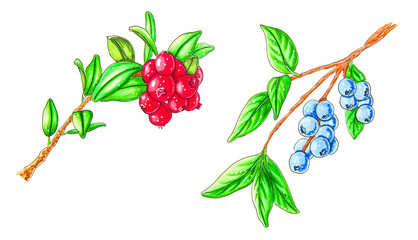 branches of forest blueberries and cranberries isolated on white hand drawn illustration