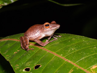 Collett's Tree Frog (Polypedates colletti) in Bako national park, Borneo, Malaysia