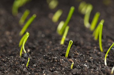 Rows of young onion seedlings
