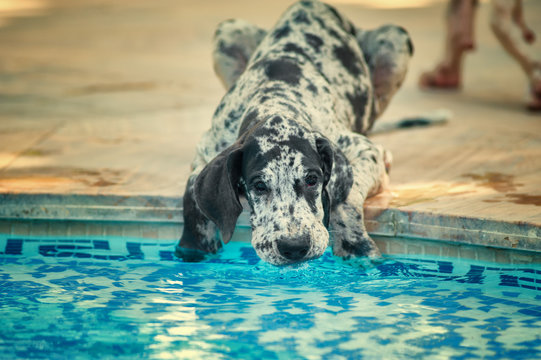 Great dane dog drinking water in a pool