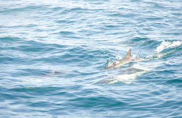 Dolphins in a natural environment. Algarve, Portugal