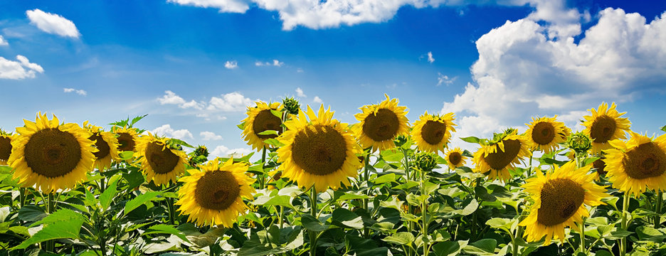 Field with sunflowers against the blue sky. Beautiful landscape. Banner