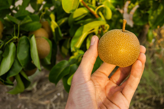 Farmer holding a Pyrus pyrifolia or Nashi in his hand. A type of pear native to East Asia result of crosses of different fruits. Useful for hangover.