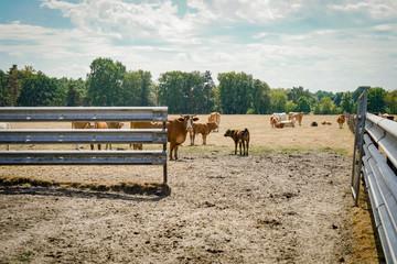 Trockenheit - Dürre, Rinder auf kahlgefressener Weide