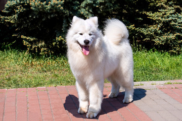 Samoyed full face. The Samoyed stands on the green grass in the city park.