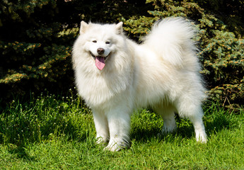 Samoyed looks in the camera. The Samoyed stands on the green grass in the city park.