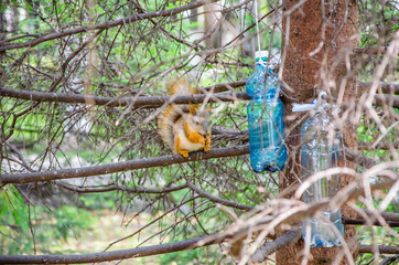 red squirrel in summer