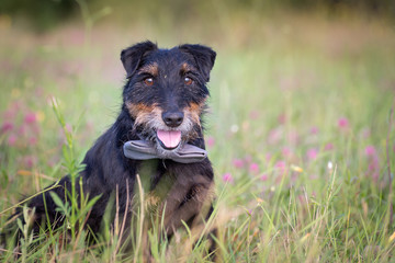 Cute old German hunting terrier with a bow tie