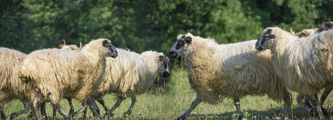 a sheep herd on a summer meadow