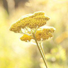 yellow yarrow flowers with a beautiful inflorescence