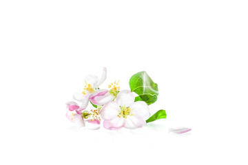 Beautiful flowers isolated on white background. Apple tree blossom. Floral wallpaper.