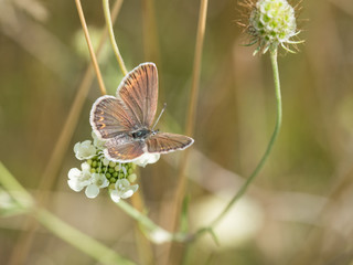 The silver-studded blue (Plebejus argus) is a butterfly in the family Lycaenidae.