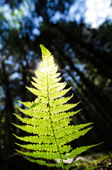 fern leaf with sunlight on a background of a dark forest