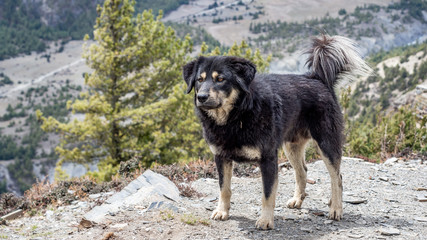 Dog on the Annapurna Mountain Range from Manang Valley on Annapruna Circuit