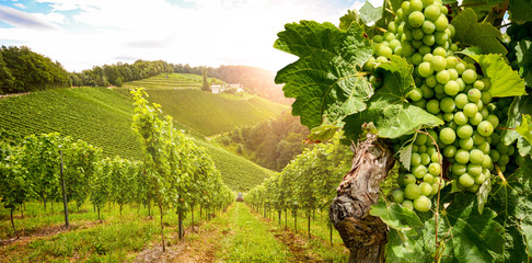 Poster Vineyard Vineyards with grapevine and winery along wine road in the evening sun, Austria Europe